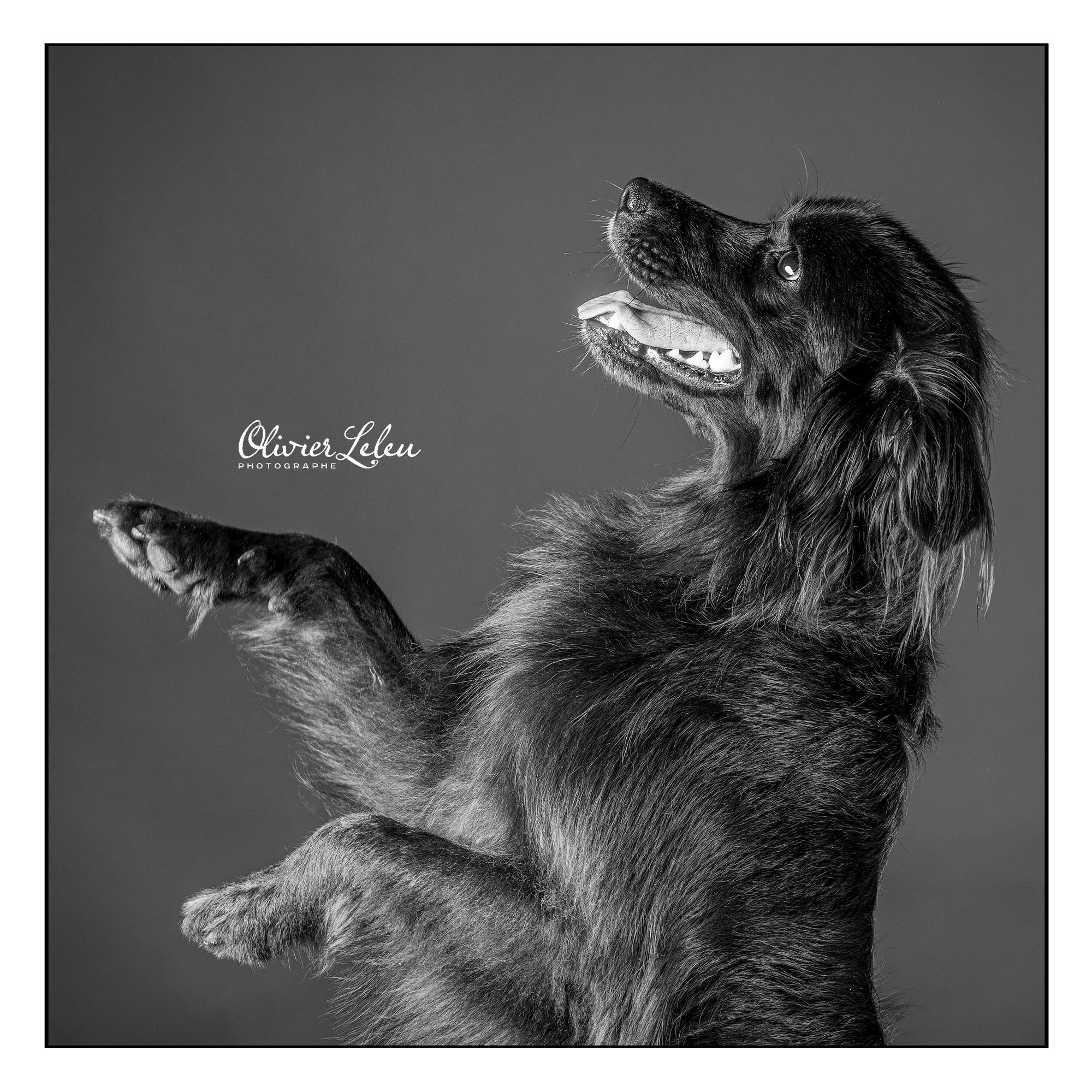 phaya-chien-pose-noir-blanc-dog-portrait-studio